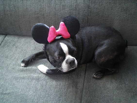 Roxy as minnie - Boston Terrier