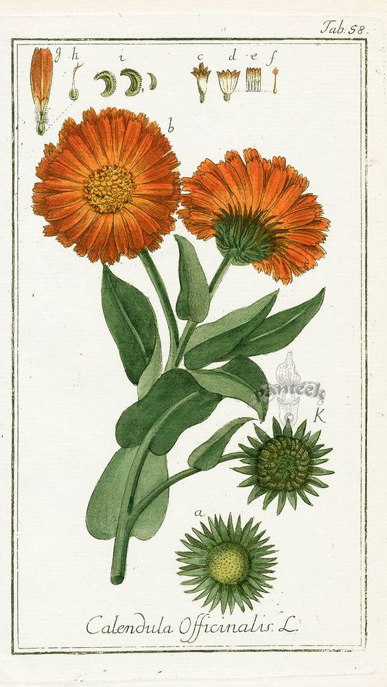 Pot Marigold, Calendula officinalis, a healing, soothing herb, leaves of which are used mainly to sooth cuts and bruises. Also has anti-inflammatory and weak antimicrobial activity. It is most often used topically for lacerations, abrasions, and skin infections; less commonly, it is used internally to heal inflamed and infected mucous membrane