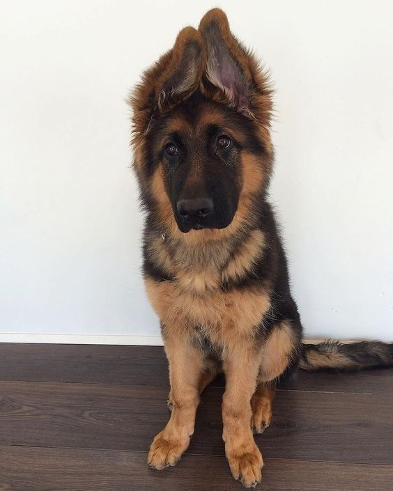 16 Pictures Of Adorable Pups With Floppy And Big Ears Puppies
