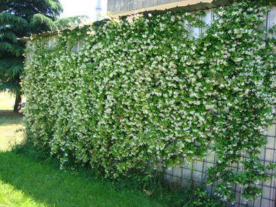 Rhyncospermum buscar con google jardinera porche - Muri da giardino ...