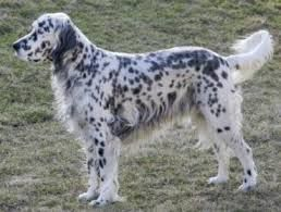 english setter - Google Search