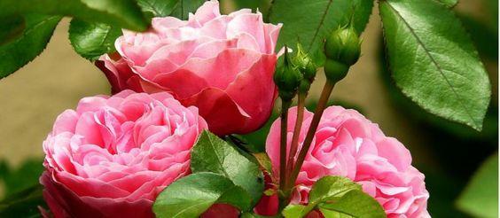 Cultivo de las Rosas: consejos