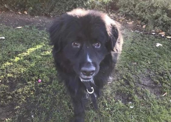 Thor Is A Handsome 2 Year Old Newfoundland Cross Looking For His