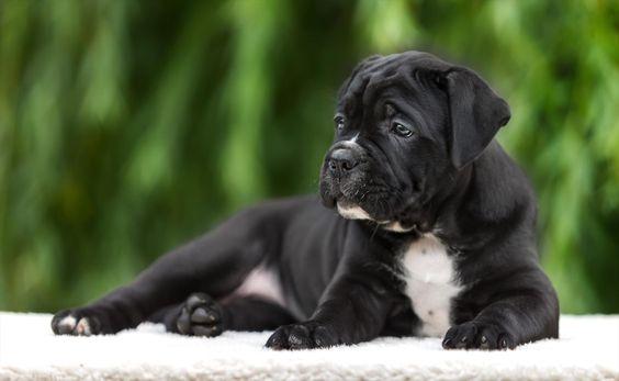 #puppy,+#cane+corso,+#breed