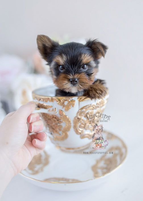 Yorkie Puppy For Sale 103 Teacup Puppies Bbb Teacup Puppies