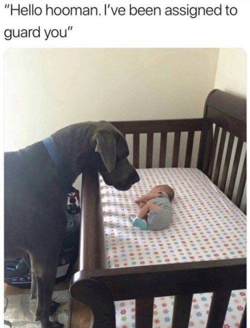 20 Animal Memes That Will Make You Laugh Harder Than They Probably Should Great Dane Dogs Dane Puppies Dane Dog