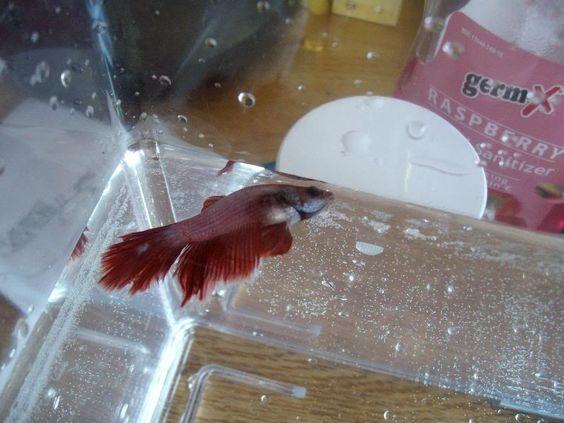 where the betta fish cannot descend into the water.   Sick Betta ...