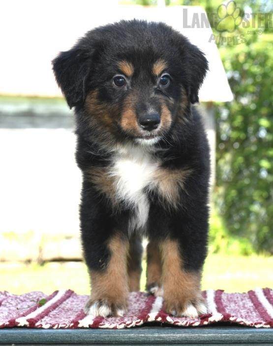 Jace Mini Australian Shepherd Puppy For Sale In Millersburg Oh Lancaster Puppies Puppies For Sale Australian Shepherd Australian Shepherd Puppy