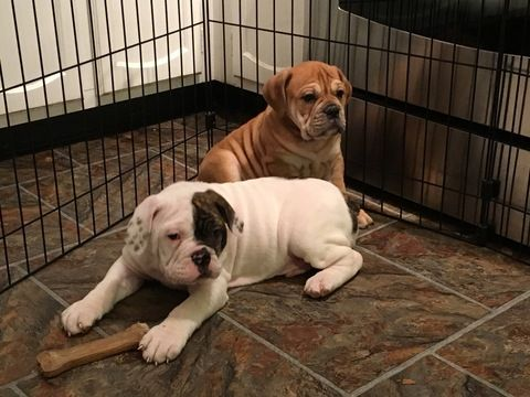 Litter Of 5 Olde English Bulldogge Puppies For Sale In Oneida Il