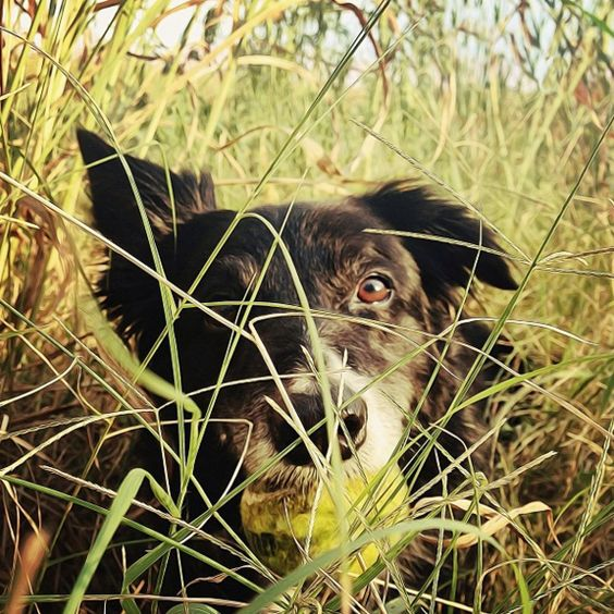 Hiding in the grass at Far West Dog Park - Austin, TX - Angus Off-Leash #dogs #puppies #cutedogs #dogparks #austin #texas #angusoffleash:
