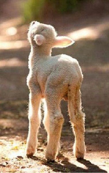 Glorious spring lamb