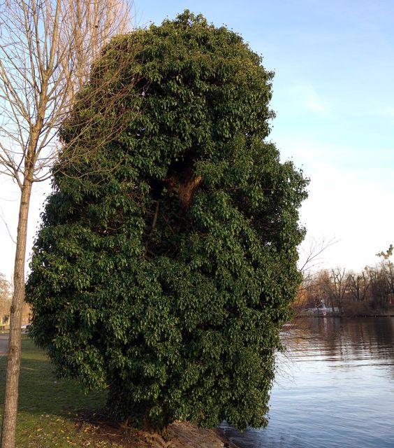 Efeu (Hedera helix) ist eine der vielseitigsten Gartenpflanzen überhaupt und völlig zu Unrecht als Friedhofspflanze verpönt.