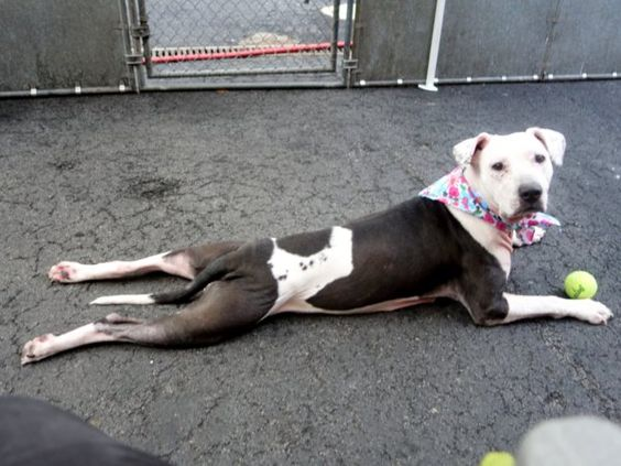 SAFE 5/5/2015 --- Manhattan Center ROBIN – A1033757 FEMALE, WHITE / BLACK, PIT BULL MIX, 5 yrs STRAY – STRAY WAIT, NO HOLD Reason ABANDON Intake condition EXAM REQ Intake Date 04/20/2015