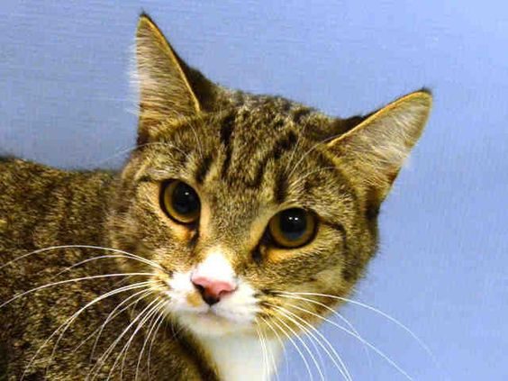 COCO - A1056504 - - Manhattan   ***TO BE DESTROYED 11/22/15 *** SECOND CHANCE FOR COCO- PLEASE MAKE IT COUNT!!!  COCO IS AN ELEGANT LADY WITH A WONDERFUL PURRSONALITY!! A staff member writes: Coco is as chic as her namesake, Coco Chanel. She is a beautiful brown tabby who loves to play with balls, wand toys, and stuffed toys. All she wants is a new playmate. Come meet this pretty, fun girl today!….ONE AND A HALF YEARS OLD AND AVERAGE RATED!! COCO IS WAITING FOR YOU TO
