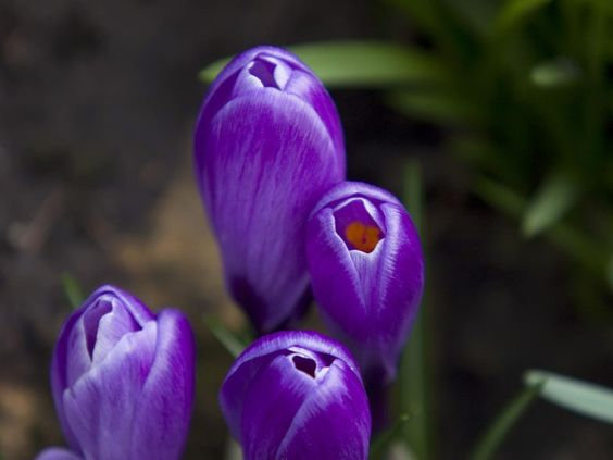 purple life | Purple Flowers Desktop Animal Life Crocus 1600x1200px Wallpapers #dark ...