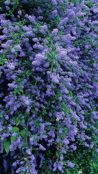 Ceanothus Cascade Californian Lilac Cascade For Sale Uk Butterfly Garden Plants California Lilac Lilac Plant