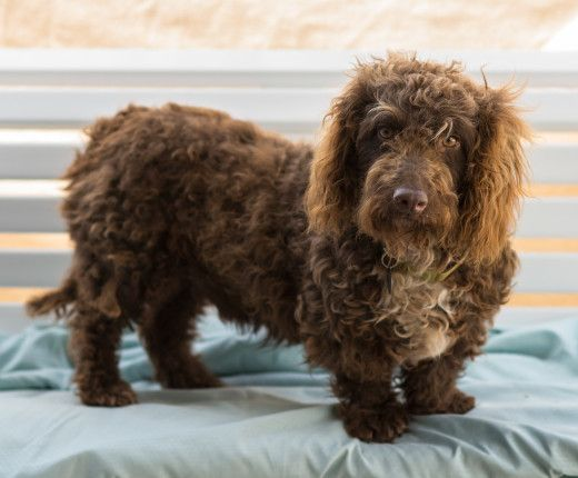 The Bassetoodle Isn T Just A Good Looking Canine It Is Also A Dog That Makes A Basset Hound Mix Poodle Cross Breeds Poodle Mix