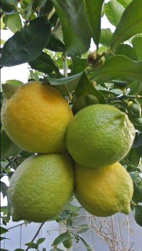 Plant citrus!