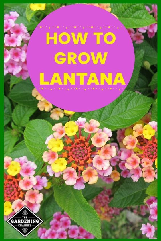 How To Grow Lantana Gardening Channel In 2020 Lantana Flower Lantana Beautiful Flowers Garden