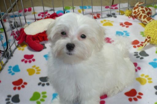Maltese Puppy For Sale In Tucson Az Adn 67358 On Puppyfinder Com