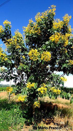 Meu cantinho verde: PAU-FAVA, ALELUIA - ( Senna macranthera ) - Brazil native tree
