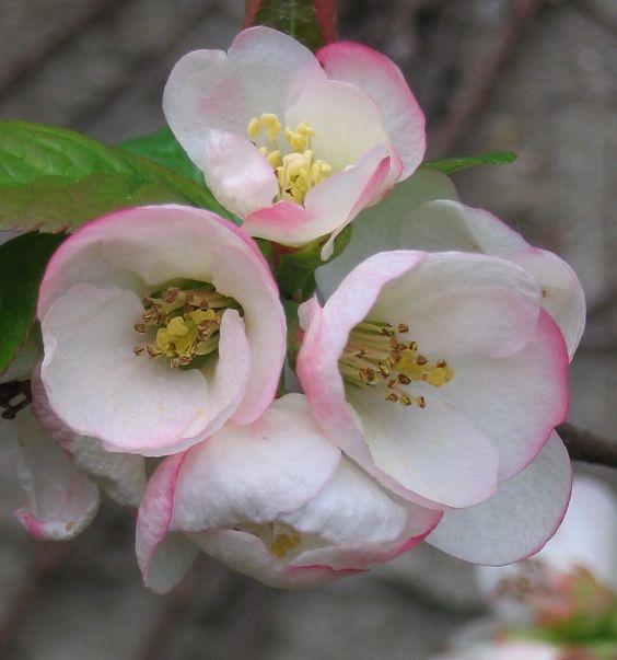 chaenomeles speciosa pink - Google Search