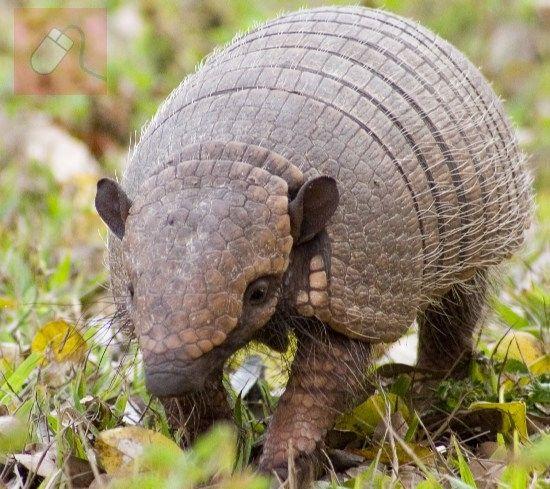 Tatou en boule - Southern three-banded armadillo - Wikipedia, the ...