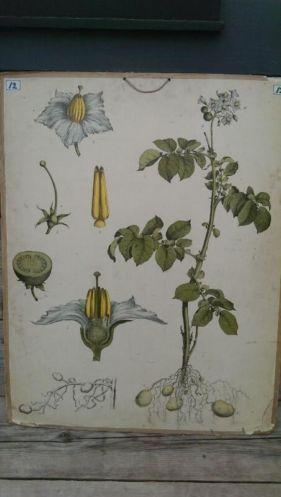 Botanische Schoolplaat Aardappel - Solanum tuberosum