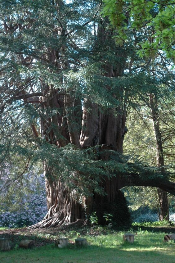 A yew tree in Tandridge in Surrey, England - St. Peters church, picture by WiPe, 2011-04-24