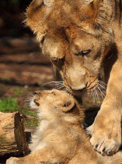 fotos de leão para facebook - Pesquisa Google
