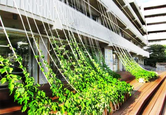 Japanese architect Katsuhiko Hibino made a shade wall out of morning glories. Let's try it with beans!