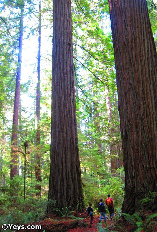 Redwoods at Humboldt State Park, California