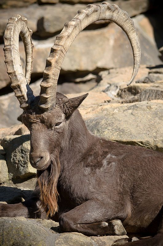 Siberian ibex / Capra sibirica   Flickr - Photo Sharing!
