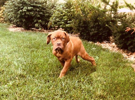 Petland Kansas City Has Dogue De Bordeaux Puppies For Sale Check