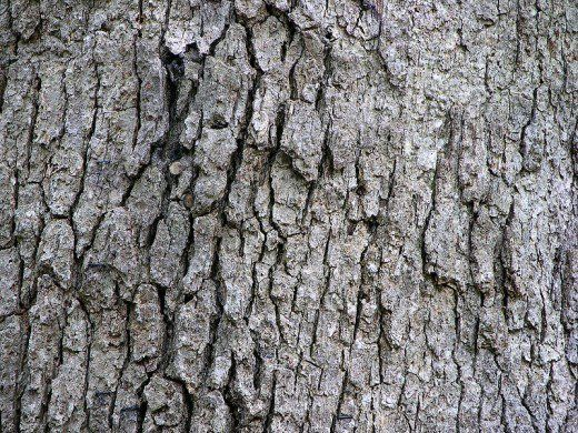 Common Types Of Oak Trees With Bark Photos For Identification