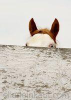 Horses -- peek