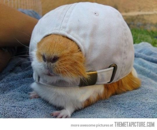 """""""Help....""""         funny-guinea-pig-hamster-hat"""