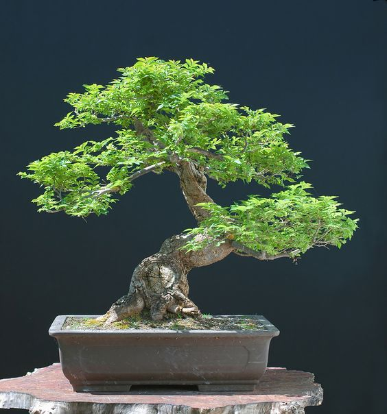 I've always wanted to raise and care for a bonsai tree, but maybe a dog, cat, fish and a toddler are enough.  Ha!