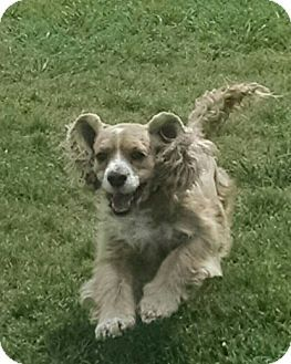 Houston, TX - Cocker Spaniel. Meet Ruffles, a dog for adoption. http://www.adoptapet.com/pet/15622764-houston-texas-cocker-spaniel