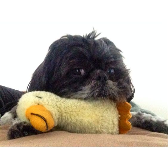 ©Oliver Bea (@oliverbeafromnyc) • Instagram photos and videos   Don't even think about taking my pillow #duck #shihtzu #shihtzulovers #shihtzusofinstagram #shihtzusofinstagramuse #pet #pets #petstagram #petsofinstagram #animal #animals #Animalsofinstagram #animal_view #buzzfeedanimals #buzzfeed #huffpost #ruffpost #weeklyfluff #dogs_of_instagram #dogsofinstagram #dogoftheday #doglovers #dogsofig #dog #dogs #dogslife #dogofnyc #instadog #instapup #insta_animal