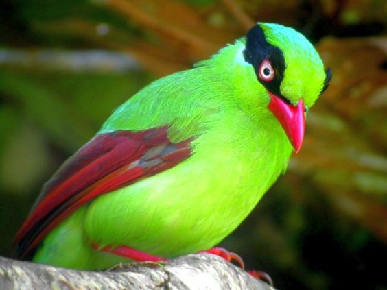 Javan Green Magpie (Short-tailed Magpie):