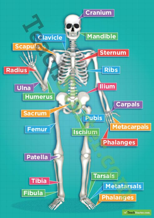 The Human Skeletal System Poster   Teaching Resources - Teach Starter