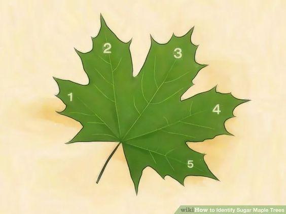 Image titled Identify Sugar Maple Trees Step 2