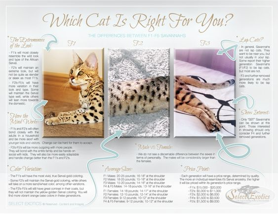 Which Savannah Cat is Right for You? - Select Exotics