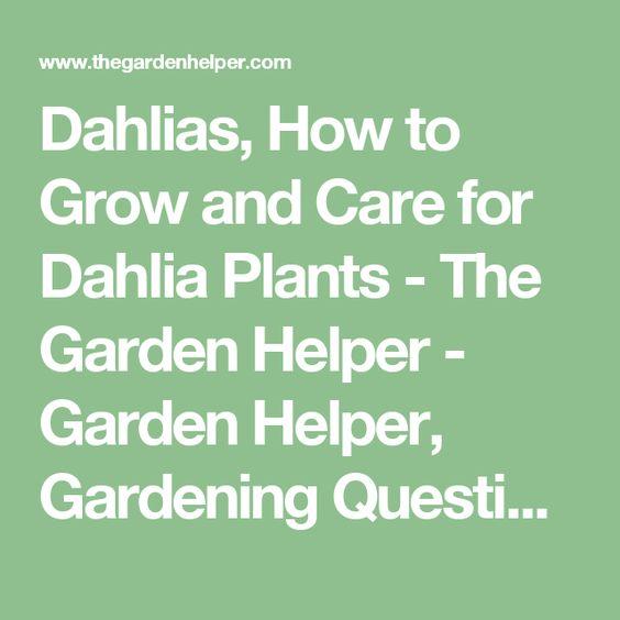 Dahlias, How To Grow And Care For Dahlia Plants   The Garden Helper   Garden