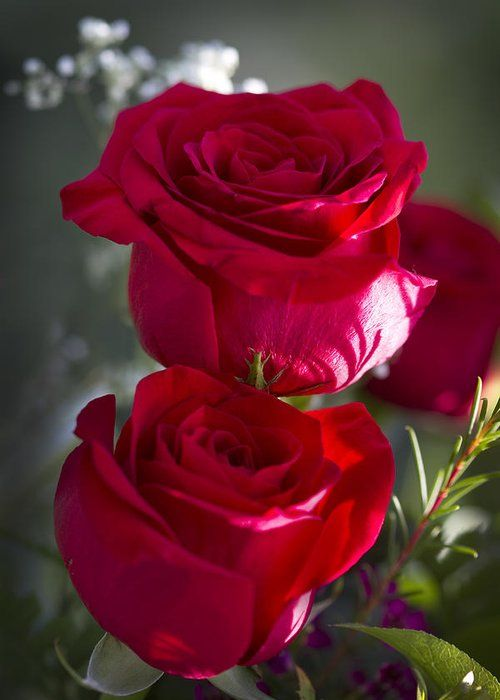 Red Red Rose Greeting Card For Sale By Kathy Clark Mawar Cantik