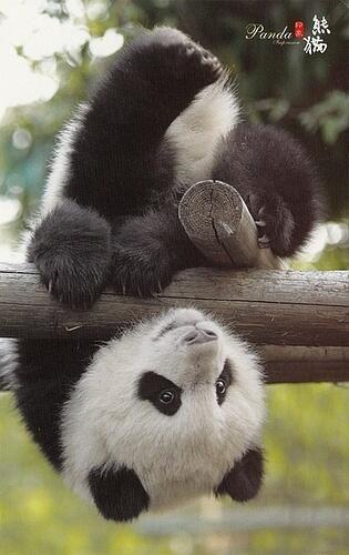 180° Baby Panda :) ... schattige panda