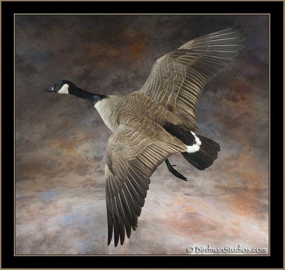 canada goose price ut