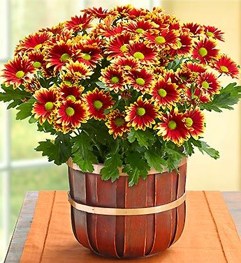Celebrate the bright beauty and unique style of the harvest season with our unique 'Santa Cruz' Chrysanthemum.