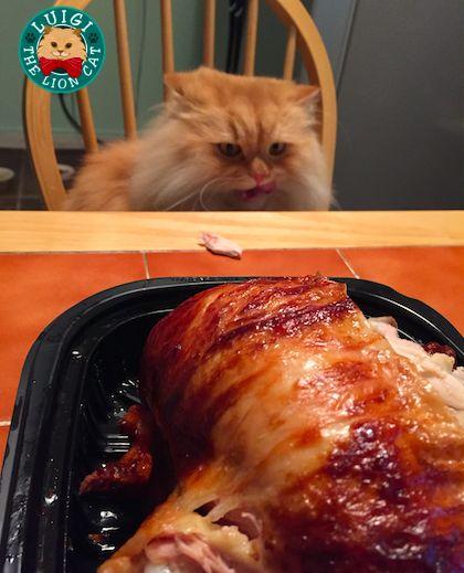 Luigi The Lion Cat Loves Chicken